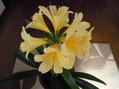 黄色とオレンジの君子蘭