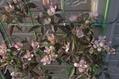 クレマチス咲く