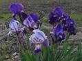 アヤメかかきつばたが咲いてました。ウォーキング71日目