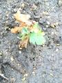 早咲き小菊