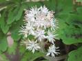 ティアレラの花
