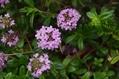 紫色の花達