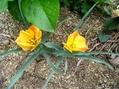 エレモフィアが咲きました
