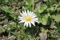 「白花タンポポ」でしょうか?