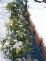 クリスマスローズが雪の重みで。
