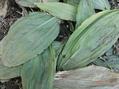 野草の芽23