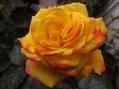 バラが咲いた[i:146]バラが咲いた[i:146]真っ赤なバ~ラ~が~[i:146]