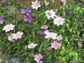 クレマチスが咲きました