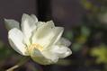 クレマチスが咲いてます