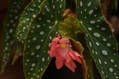 ヒスイカズラの開花