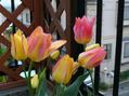 スプーン咲きは2年続かず?