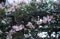 クレマチス:モンタナ開花です