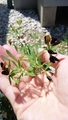 ロータス・ブラックムーニーのお花