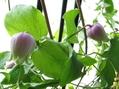 クレマチス・這澤実生が咲いた。