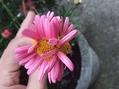 マーガレットの奇形花