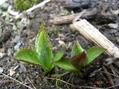 野草の芽29