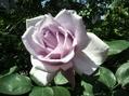 バラ満開!