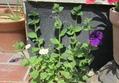 イキシアが咲きました