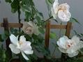 咲き進む薔薇、咲き始める薔薇