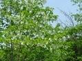 神代植物園のハンカチの木