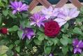 バラが咲いてきた[i:136]