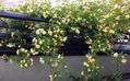モッコウバラの開花♪