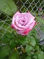薔薇色付く