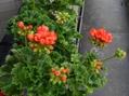 チューリップ咲きゼラニウム『パンドラ』
