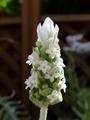 今日は白花で