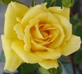 💚薔薇ばらバラROSE💚