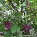 クレマチス 蕾と花