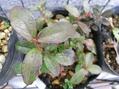 野草の芽36
