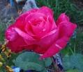 早朝のバラ