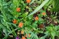 クロユリの開花