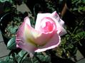 次々と開花中