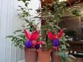 冬越ししたフクシア早々開花し始める。