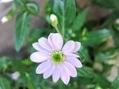 ピンクの蕾、咲くとブルー、でも名前は…?