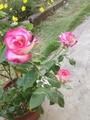バラが咲いています