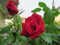 薔薇が咲きました。