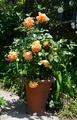 パット・オースチンが咲きました
