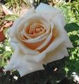 バラの花の香り