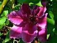 clematis開花