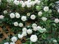 早咲きの薔薇