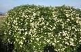5月の白い花