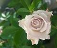 砂漠のバラとベランダのバラ