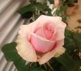 我が家の薔薇!