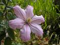 Lapeirousia corymbosa