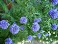 クリンソウも咲きました
