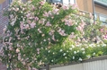 つるバラ10
