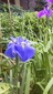 種から育てている花菖蒲の花が見たい